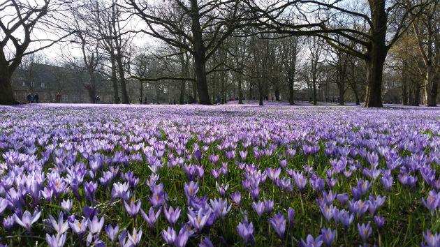 Wunderschöne Krokusblüte in Husum. Fots (3) Jörn Schaar